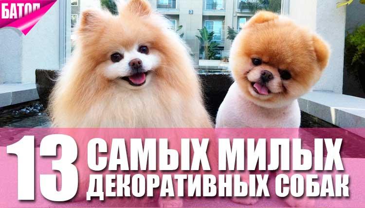 13 самых милых декоративных пород собак