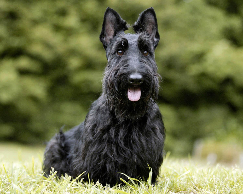 Скотч терьер (Scottish Terrier) - это ...