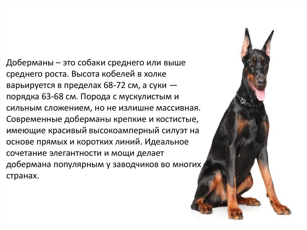 Порода собак доберман - презентация онлайн