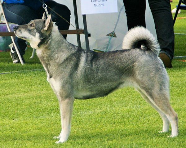 Файл:Swedish Elkhound.jpg — Википедия