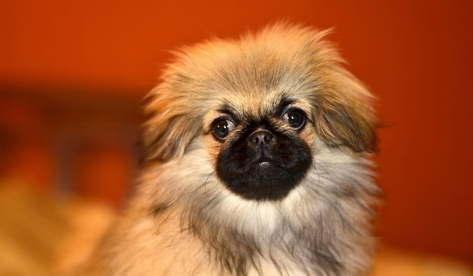 Пекинес собака: фото, характер, описание породы