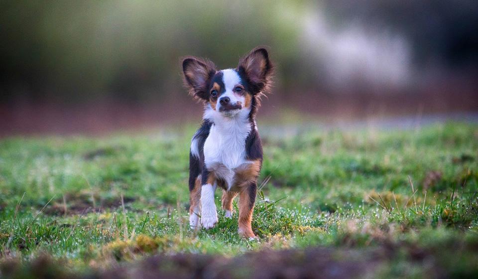 Чихуахуа собака: фото, характер, описание породы